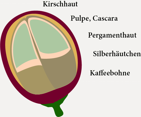 Aufbau der Kaffeepflanze